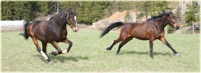 hevoset juoksee laitumella