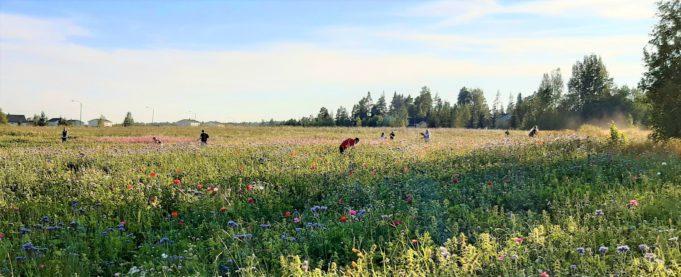 Ihmisiä poimimassa kukkia maisemakukkapellolta.