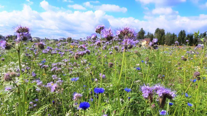 Kukkia pellolla