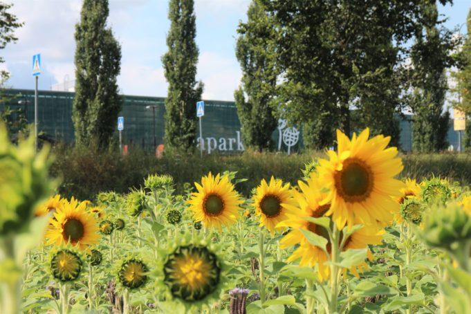 Auringonkukkapelto Ideaparkin vieressä